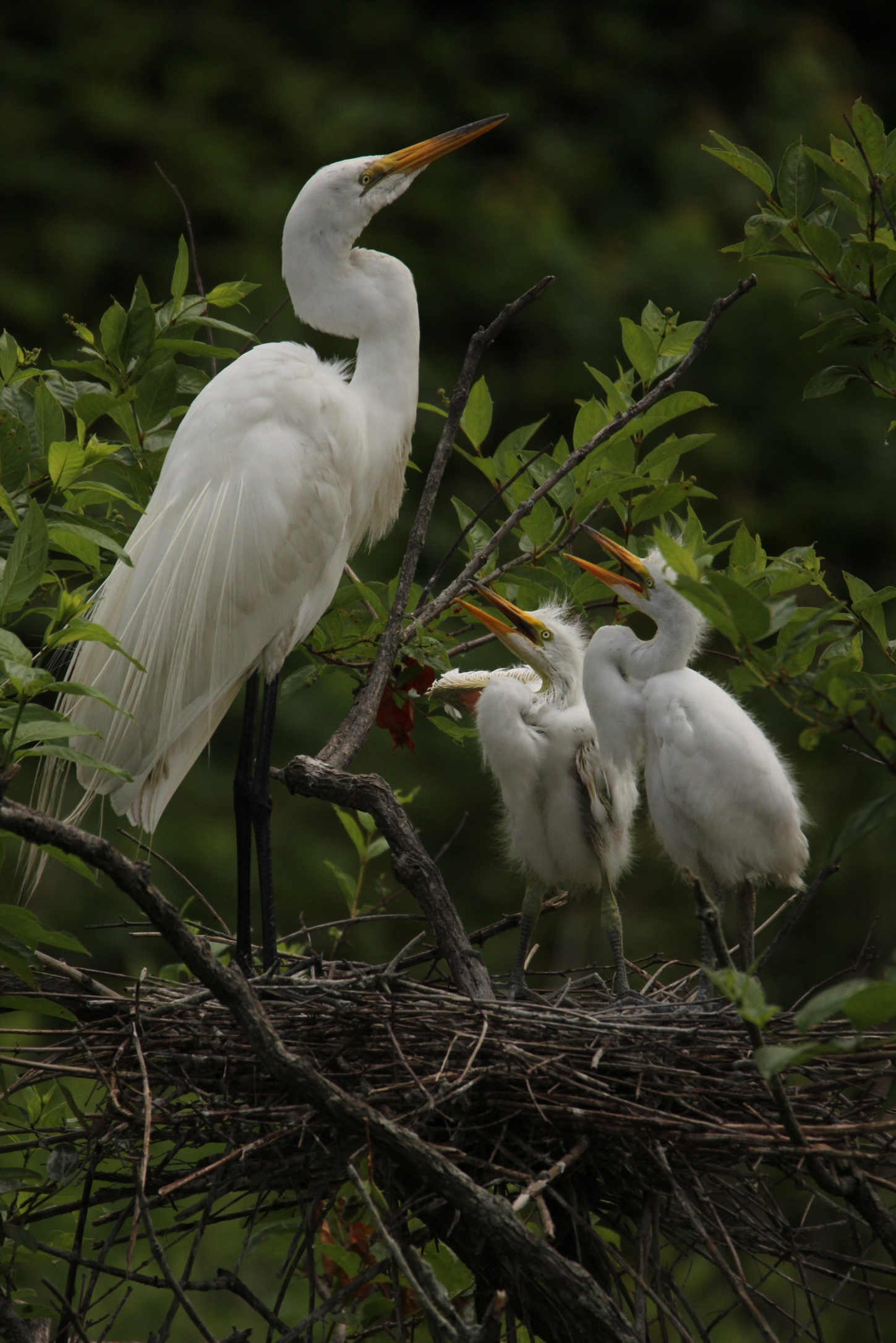 Adult Egret with Chicks by Frank Baker.jpg