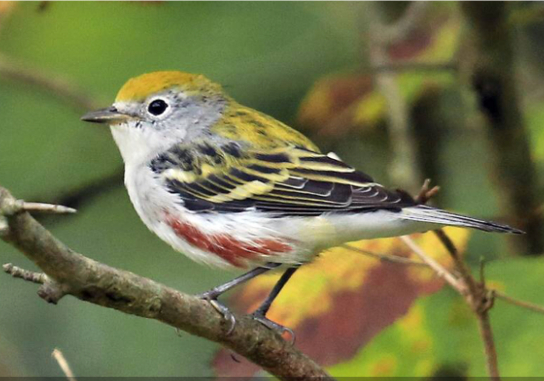 Chestnut-sided warbler, nonbreeding male.  Photo from Merlin App.