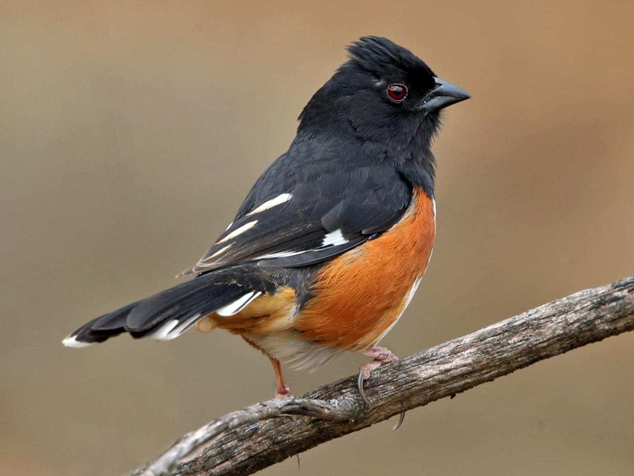 Eastern towhee, photo from Allaboutbirds.org