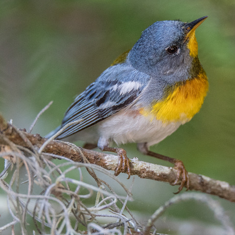 Northern Parula Warbler by D. Dial