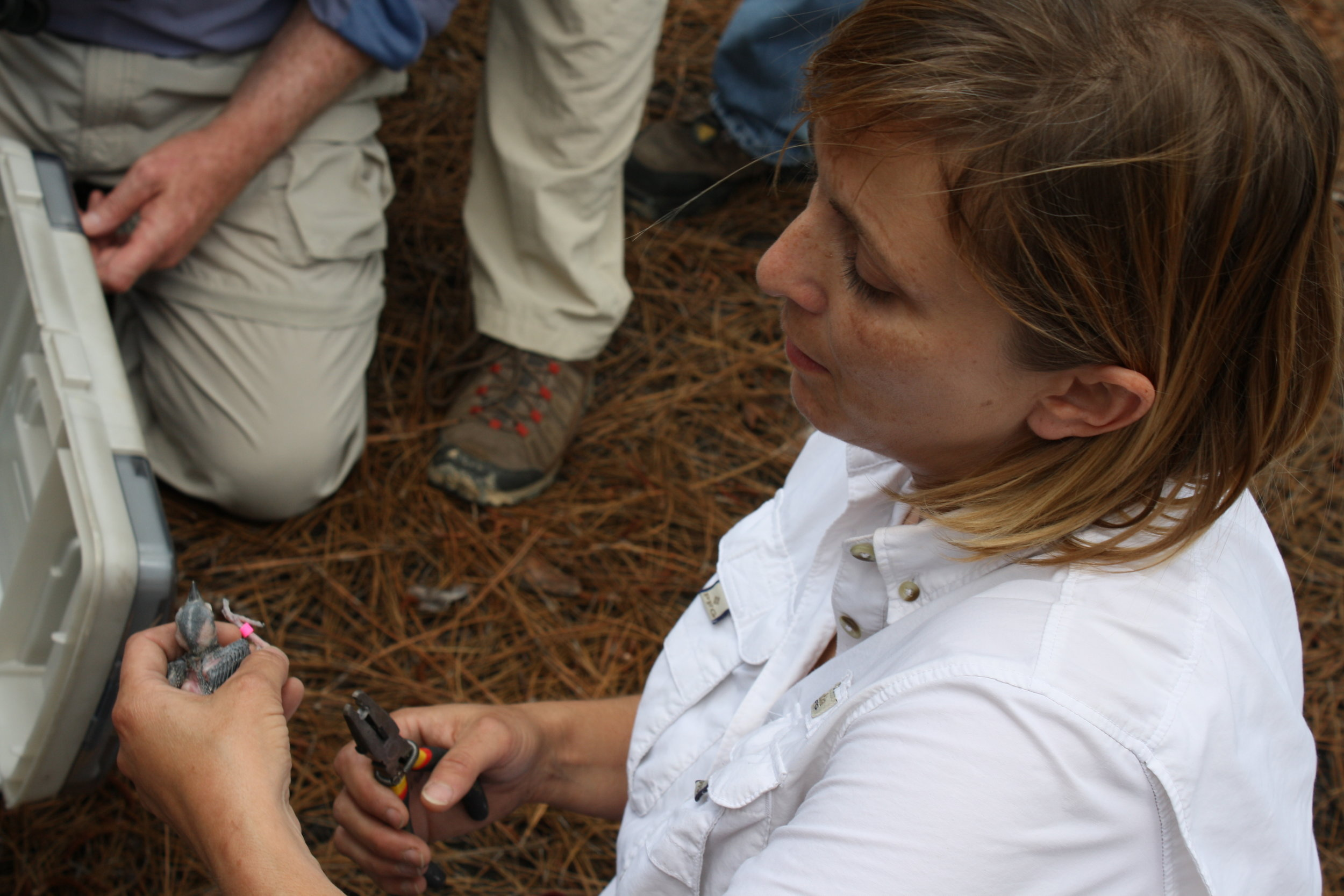 Nicole teaching a Midlands Master Naturalist class about Red-cockaded woodpeckers, and demonstrating the banding procedures.