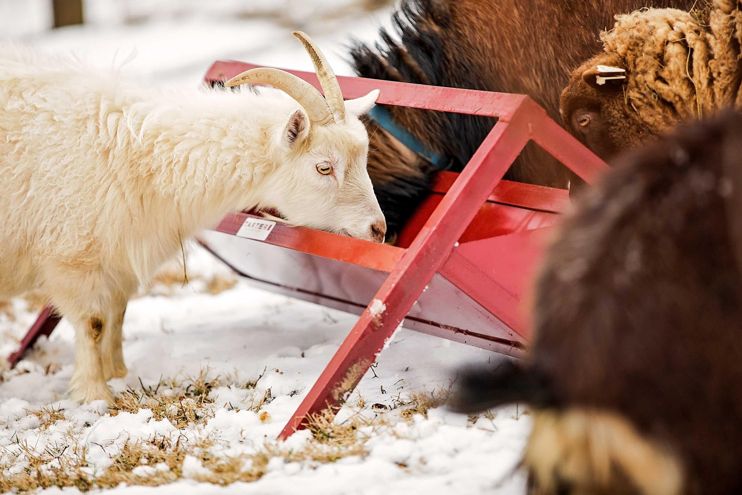 Goat Feeder2.jpg