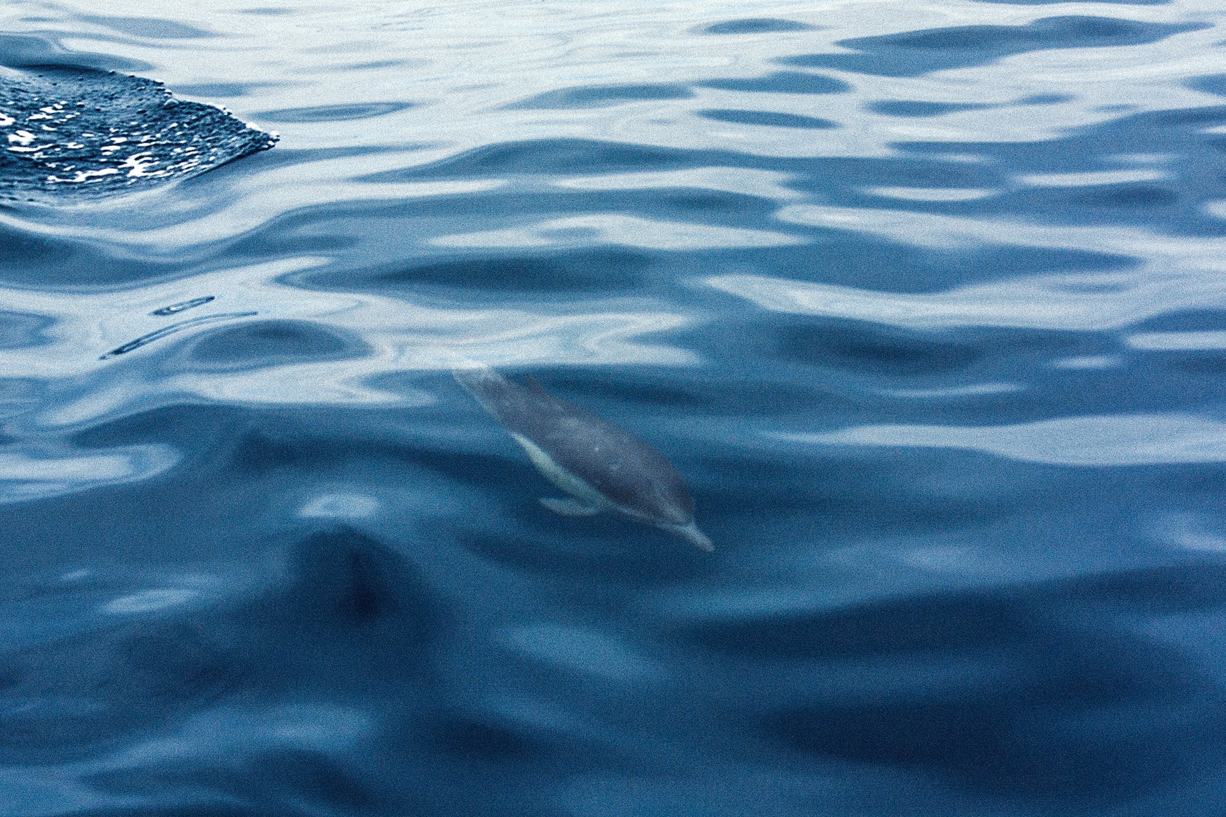 Dolphin_Swim.jpg