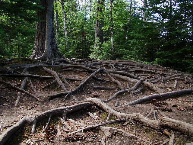 tree_roots_attrib_Buzz_Hoffman_0.jpg