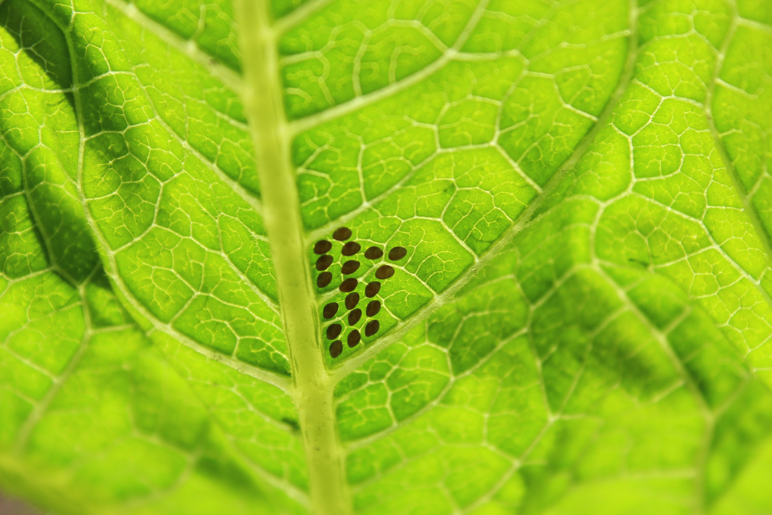 Squash bug eggs on the underside of a giant pumpkin leaf