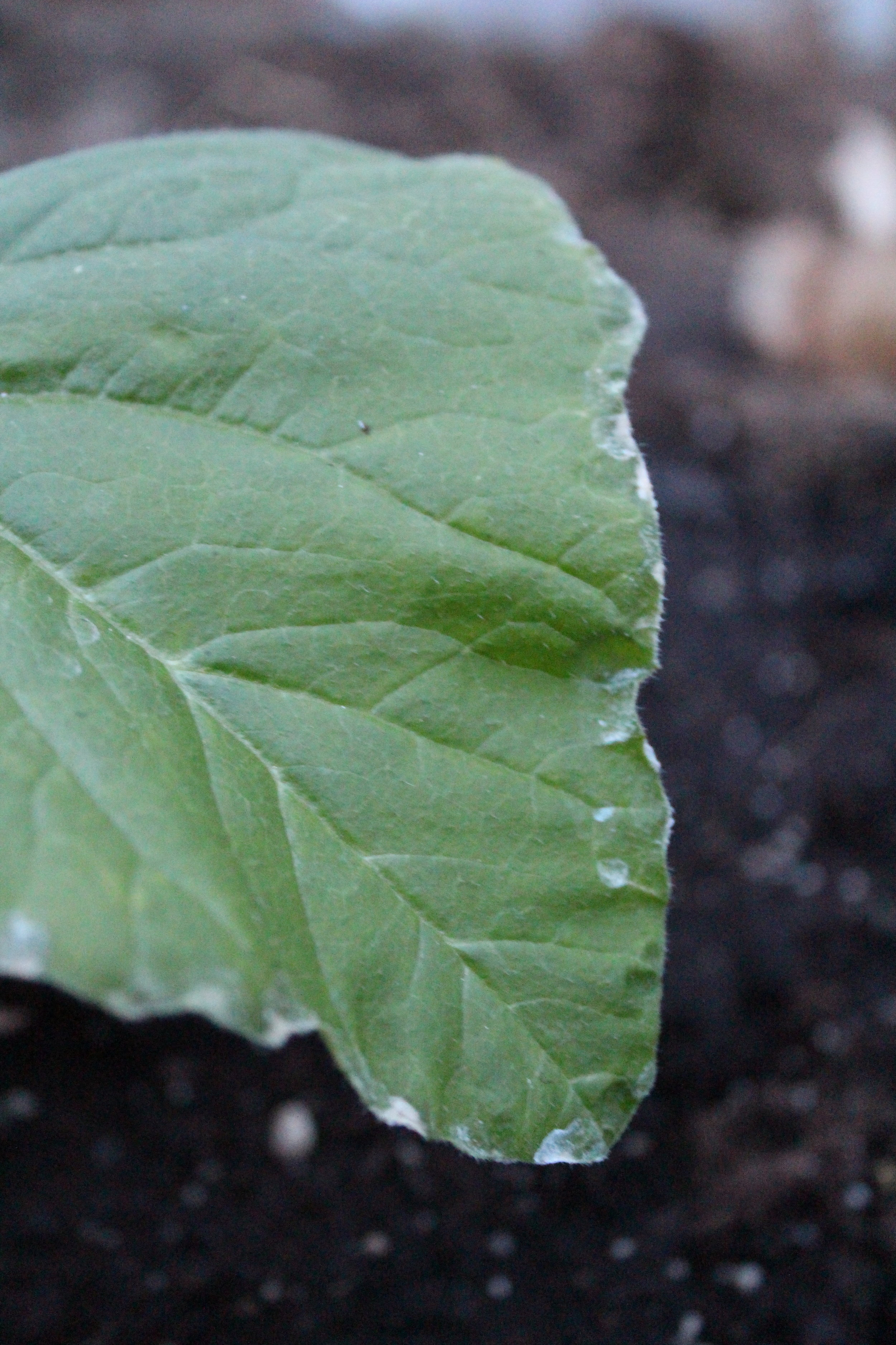 Weird white stuff along the edges of my leaf. It almost looks like dried up dirt that had splashed up when I was watering it.