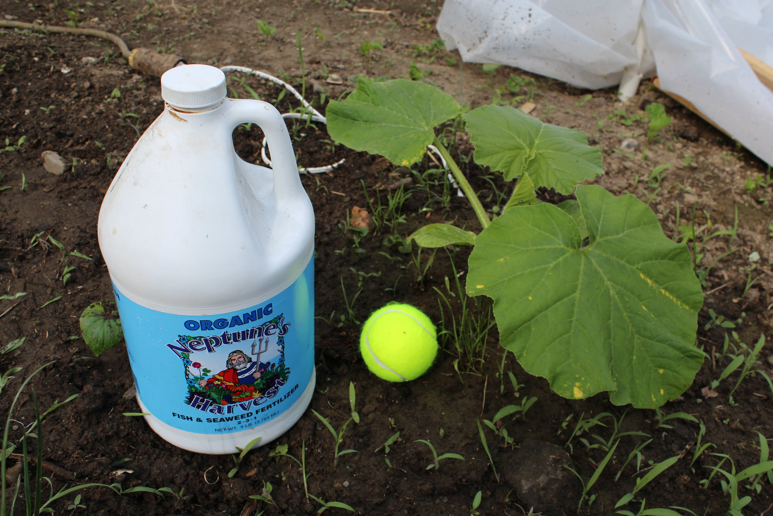 Using Neptune's Harvest fish and seaweed fertilizer on my giant pumpkin.