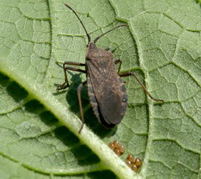 Squash bug laying eggs