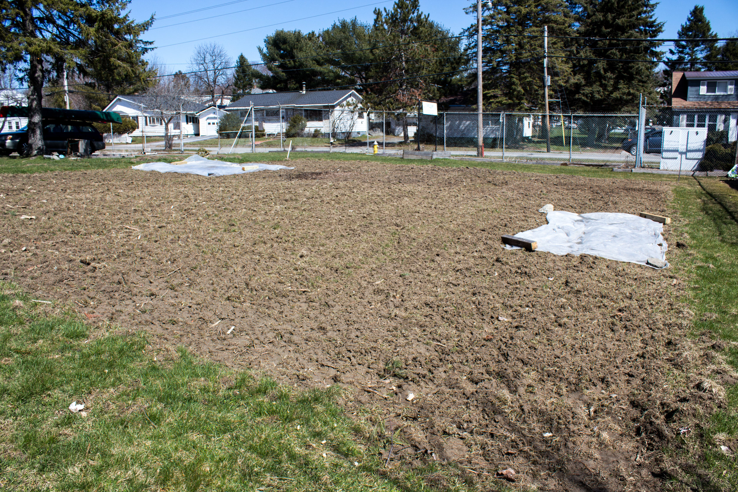 Warming up the soil with clear plastic at the Bangor Community Garden. Our patch is much bigger than last year which will allow us to grow two pumpkins, but we still need to add organic matter to build up the soil.