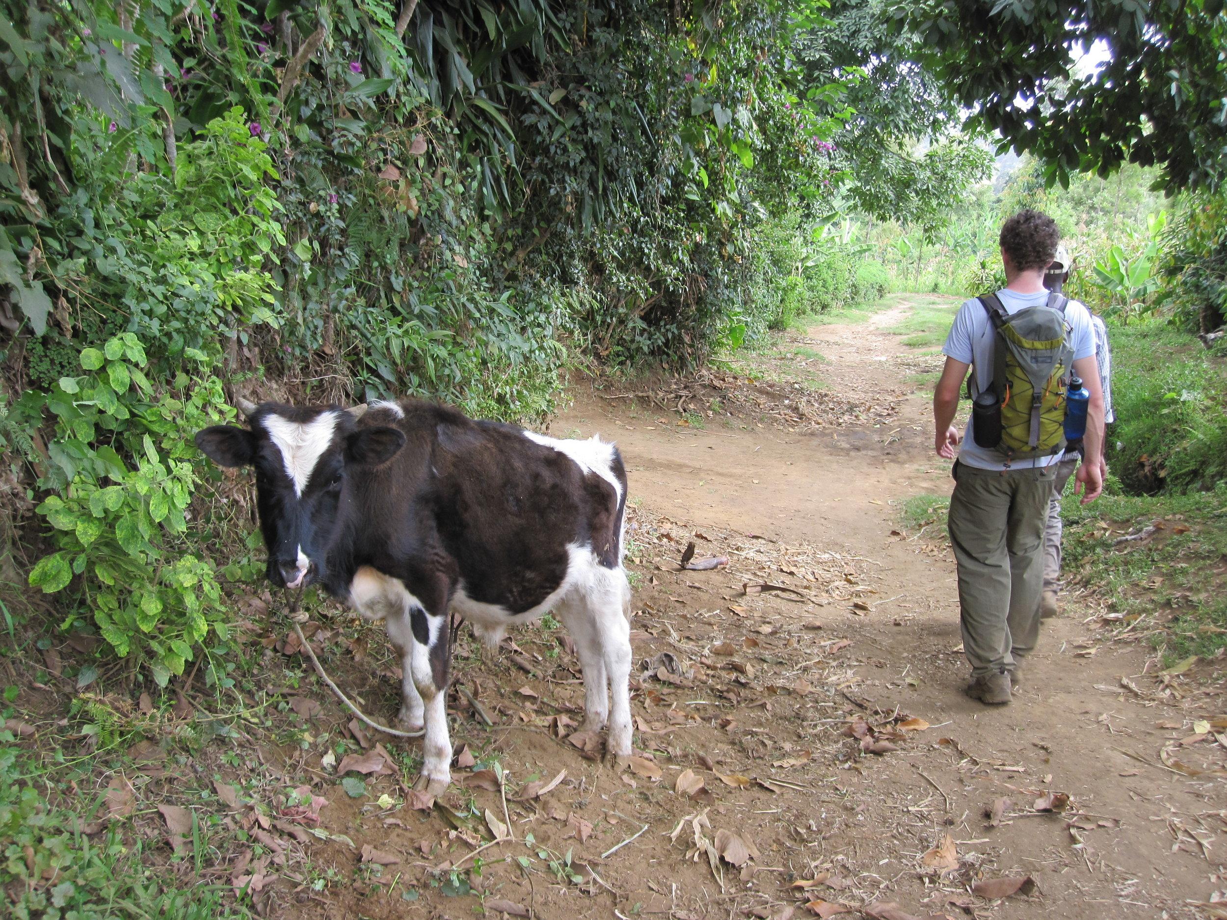 Baby cow in Tanzania's Terengu Tribe.