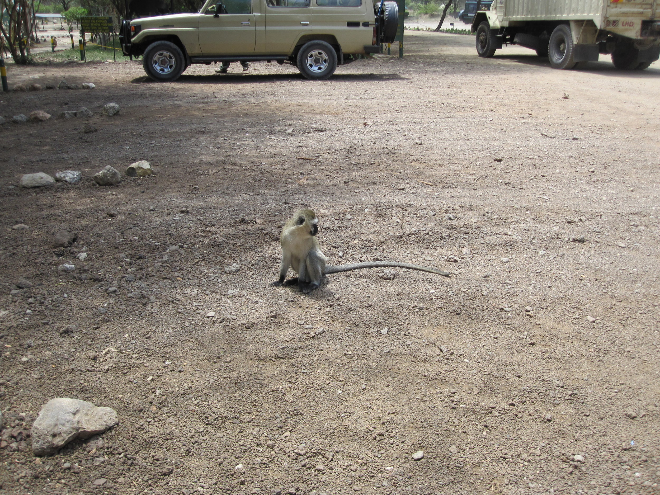 Monkey in the parking lot at Tarangire.