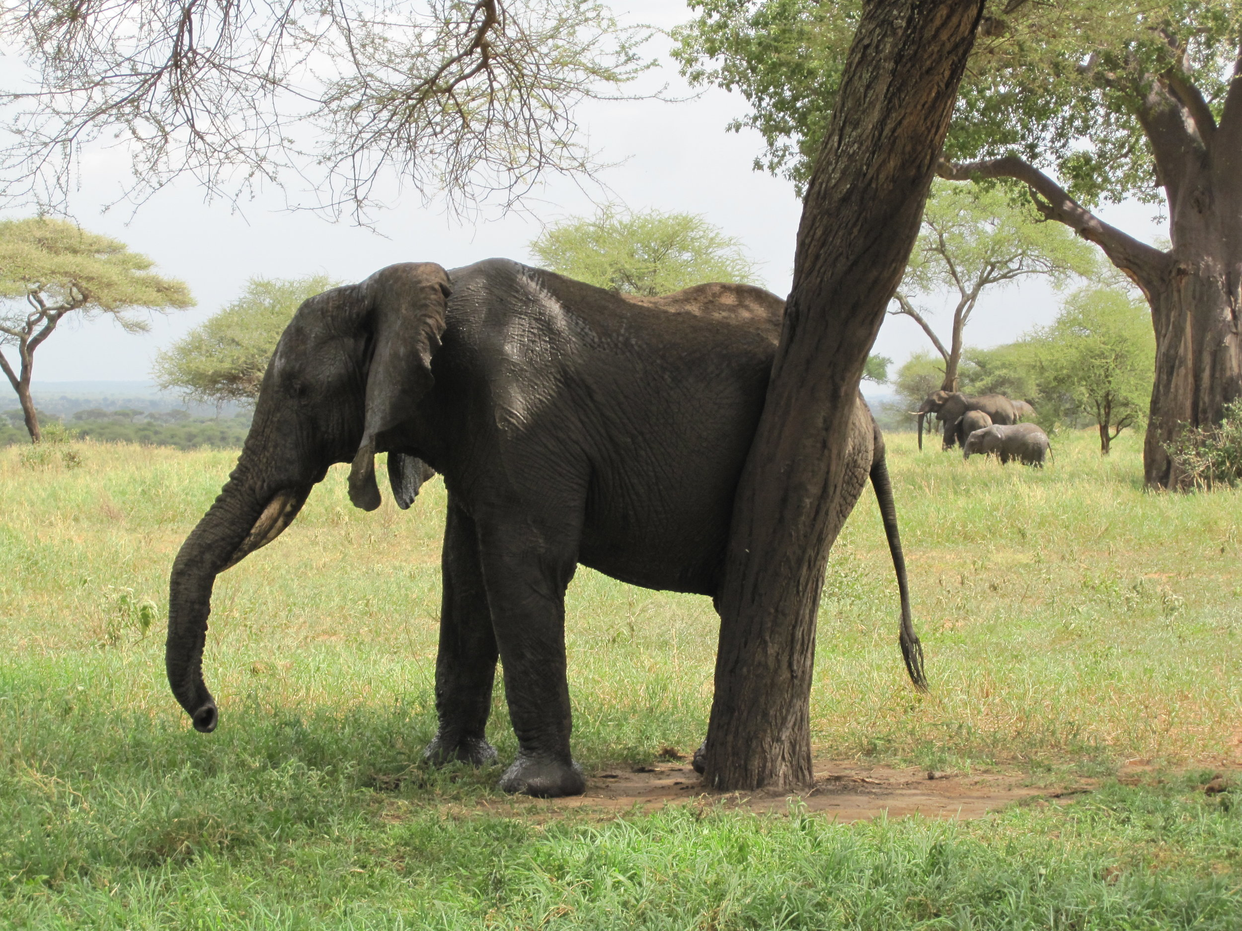 Elephant scratching his butt on a tree.