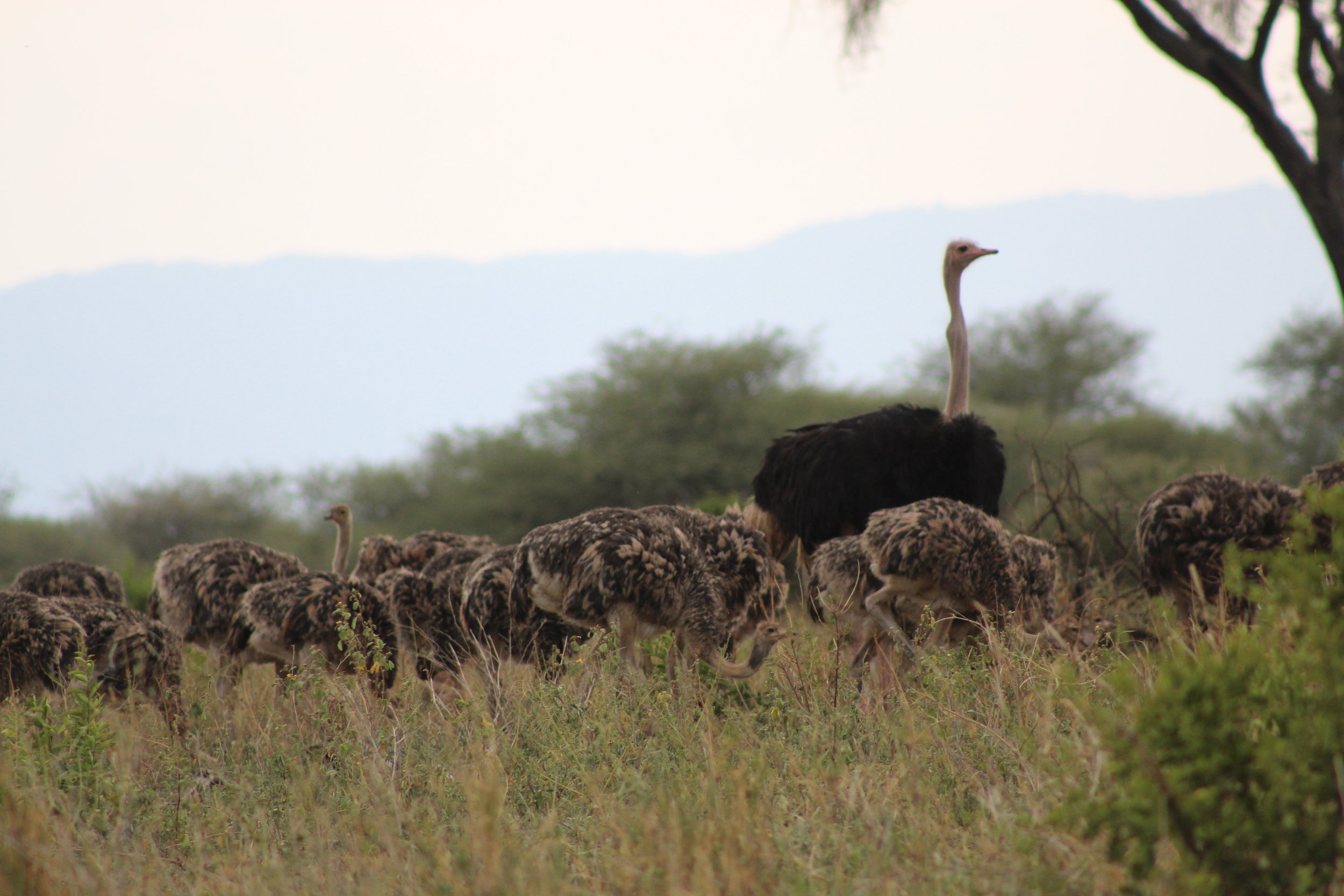 Ostrich mom and babies