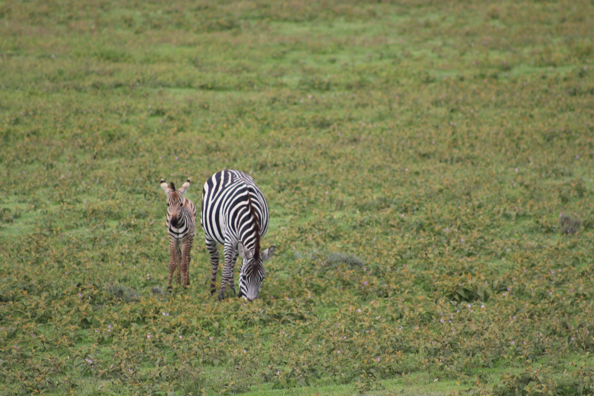 Baby zebra and mom in Tanzania
