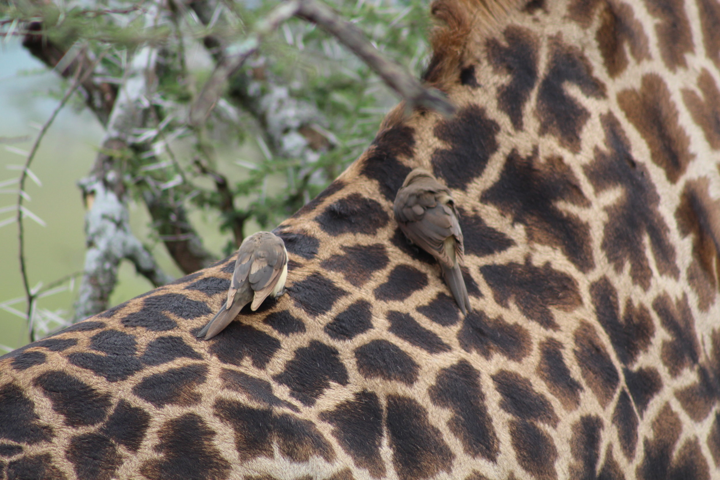 Giraffe with two birds taking a ride!