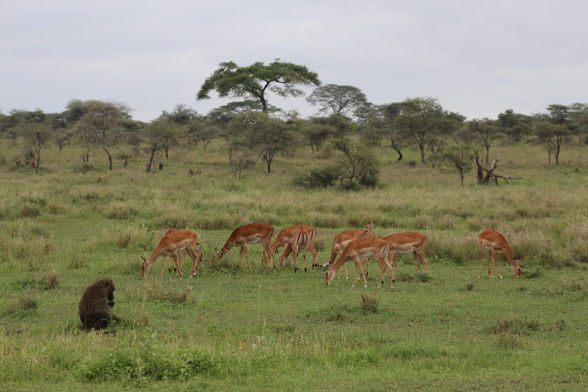 Olive baboon and impala