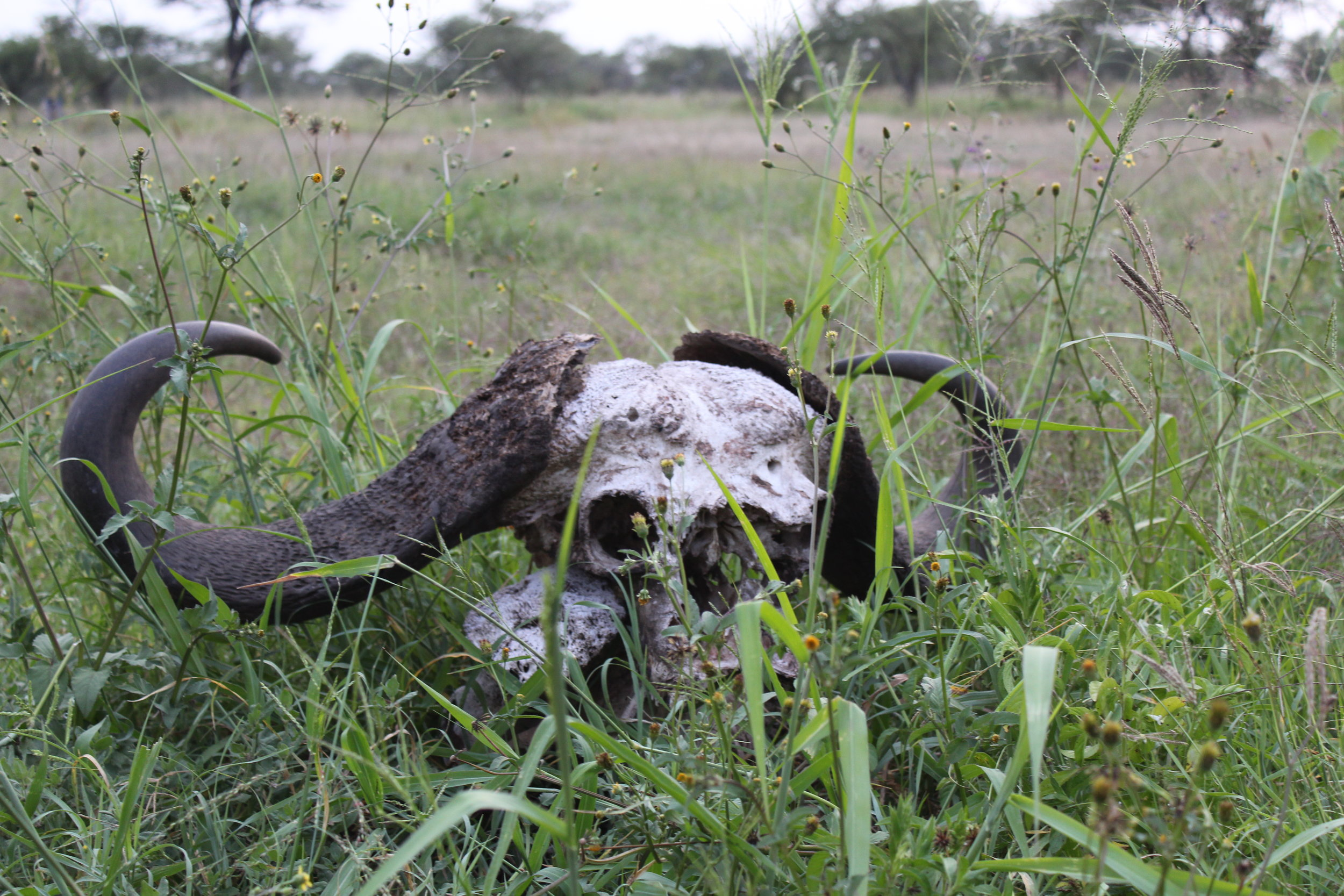African buffalo skull at our campsite in the Serengeti.