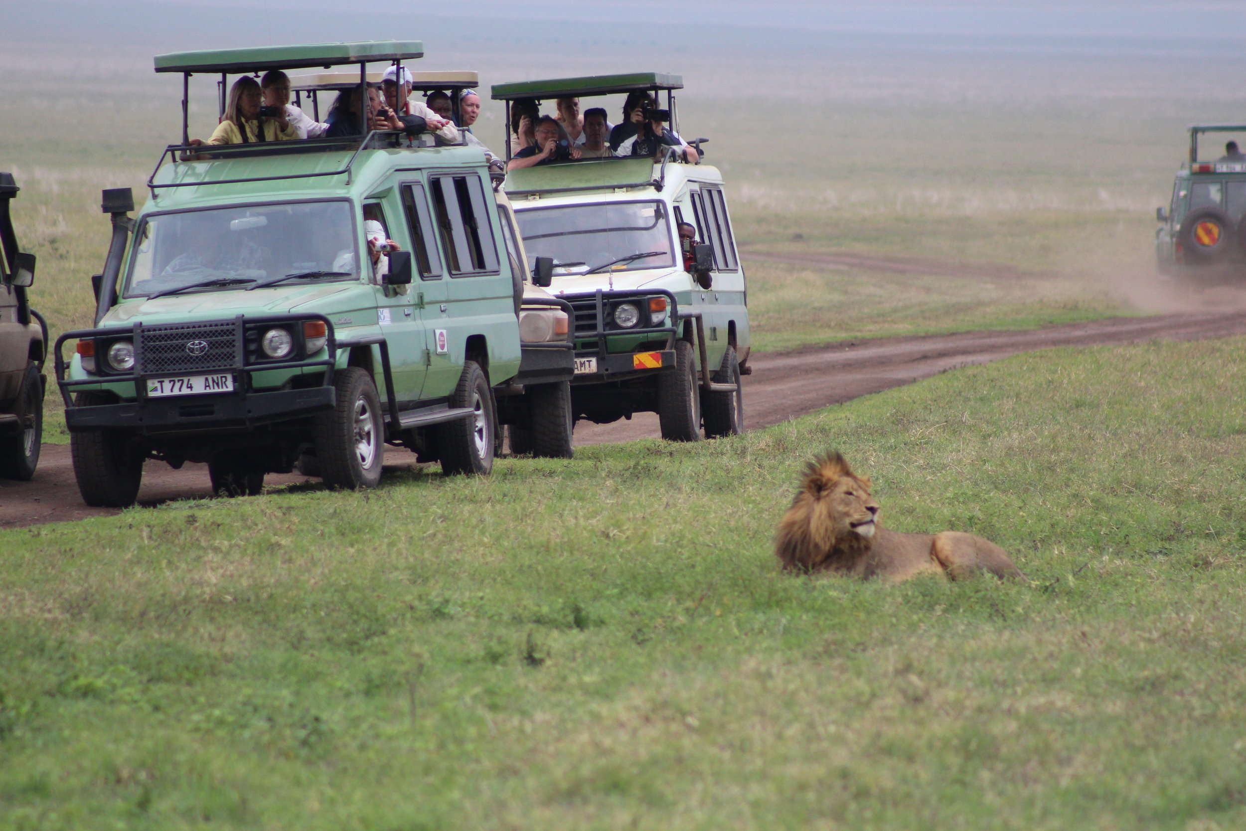 The lions were not phased by the safari vehicles!