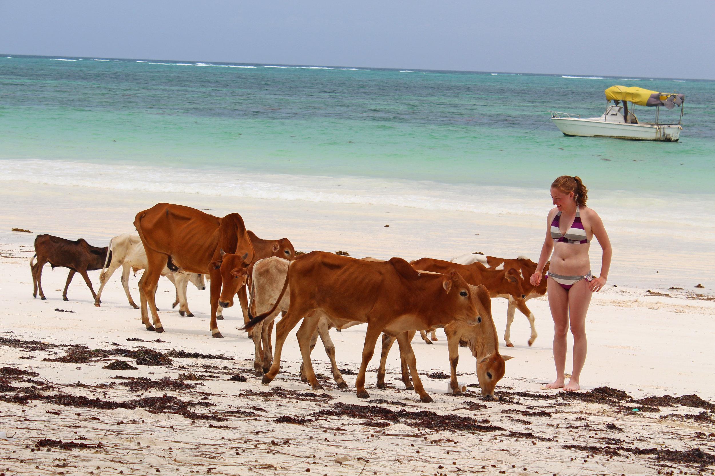 Herd of cows on the beach in Kiwengwa, Zanzibar
