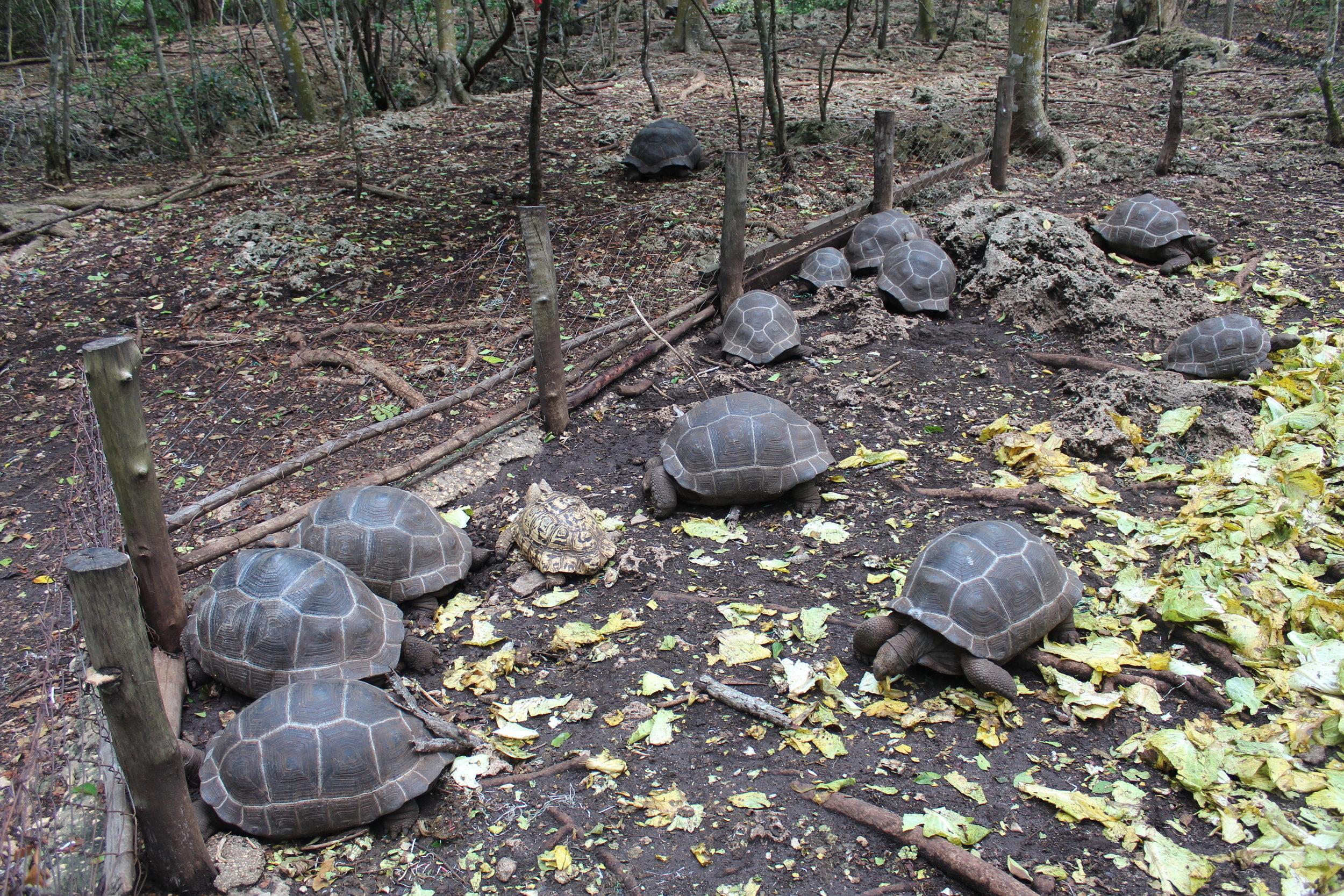 Baby tortoises on Prison Island