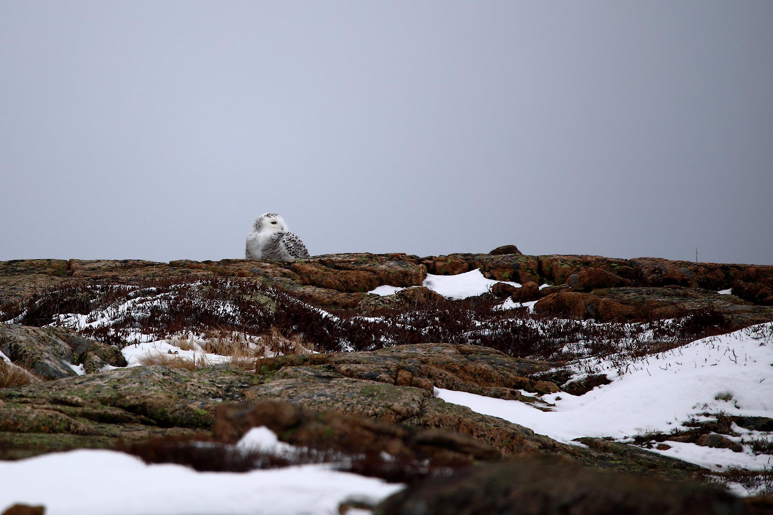 Snowy owl on Sargent Mountain.