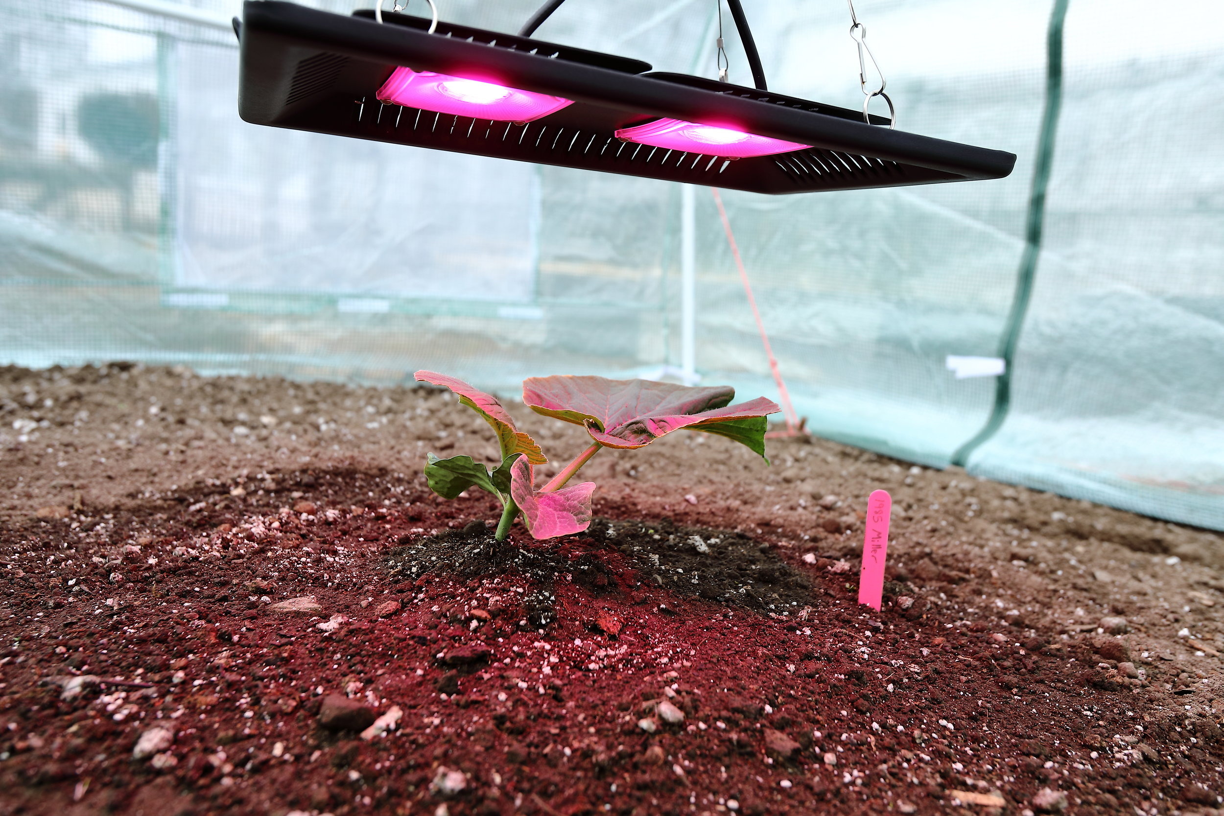 After transplanting, I place an LED light over the plant and keep it on for 16 hours a day.