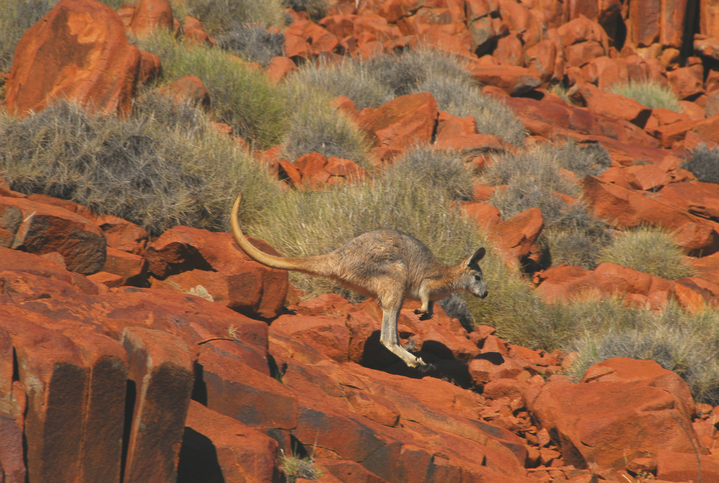 Euro Kangaroos .jpg