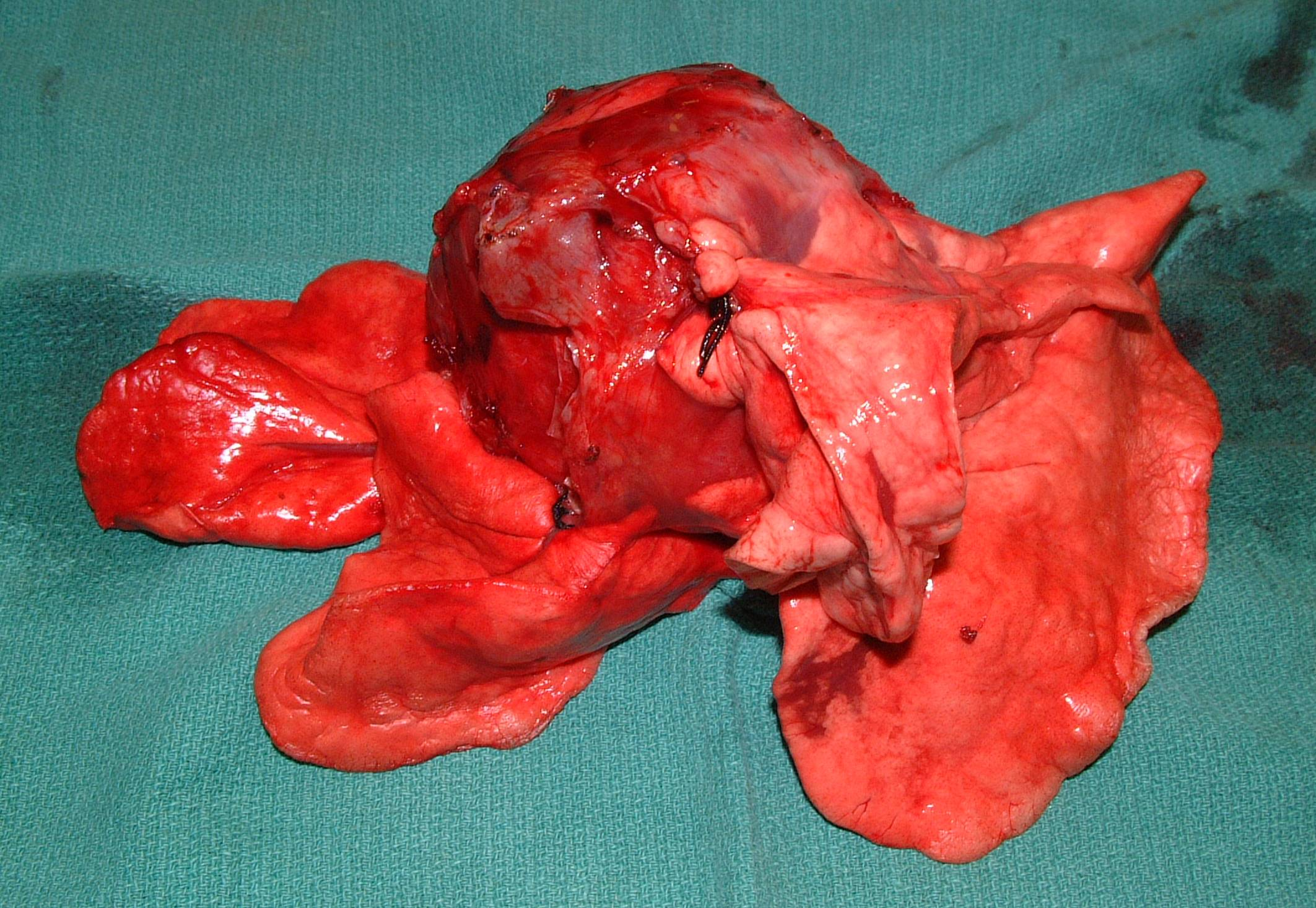 Primary Lung SCC - Dog