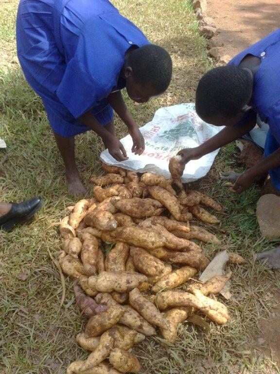 students_pack_sweet_potatoes.jpg