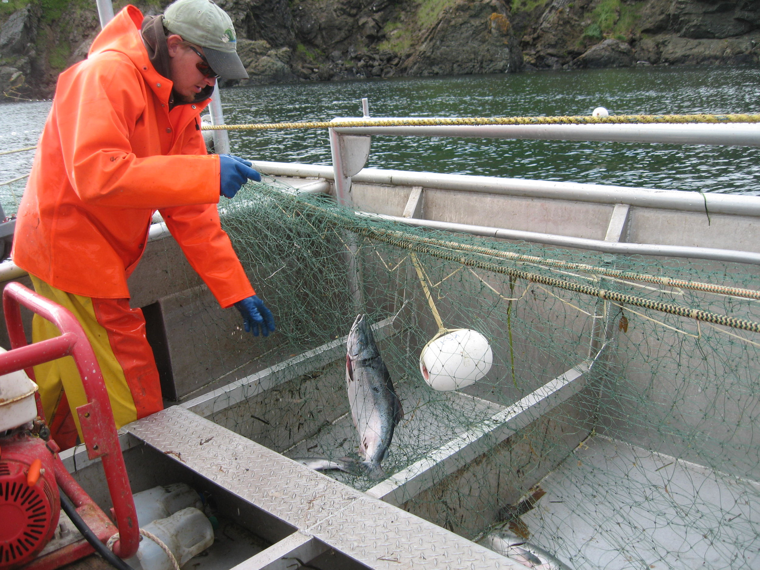 Tollef picking wiggling salmon from his net