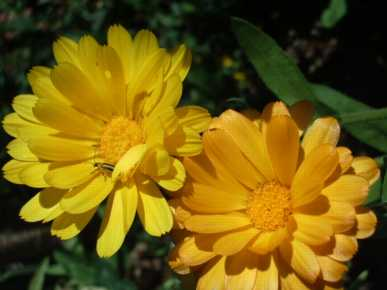 This photo is from Fedco seeds. This is their Resina Calendula, a great medicinal variety