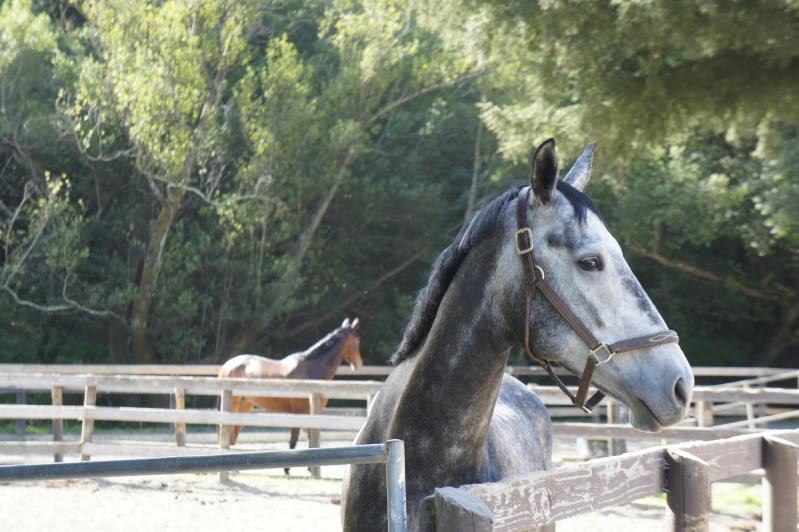 turnout gray horse.jpg