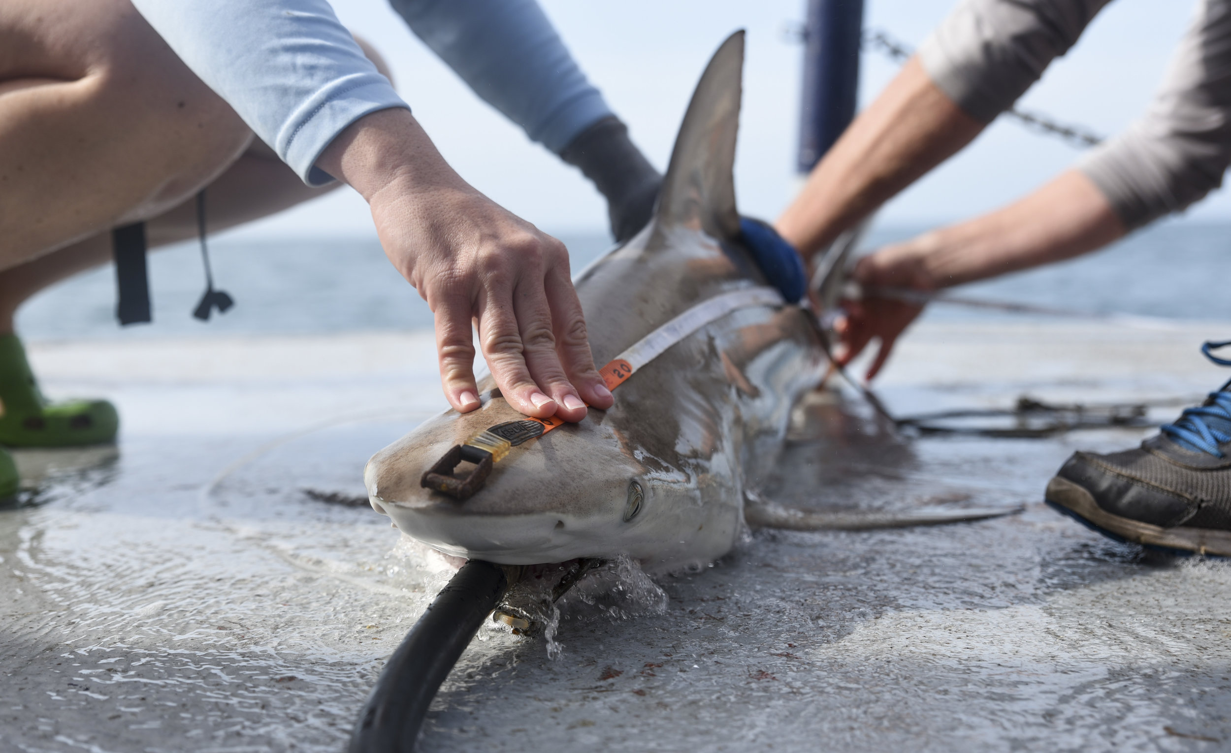 Jayne Gardiner of the New College of Florida, left, and Jack Morris of the Mote Marine Lab, measure the length of a male Blacktip shark brought aboard.A hose spouting sea water, called a resuscitation hose, is placed in the shark's mouth to allow water to flow across its gills, enabling the animal to breathe while on the boat.
