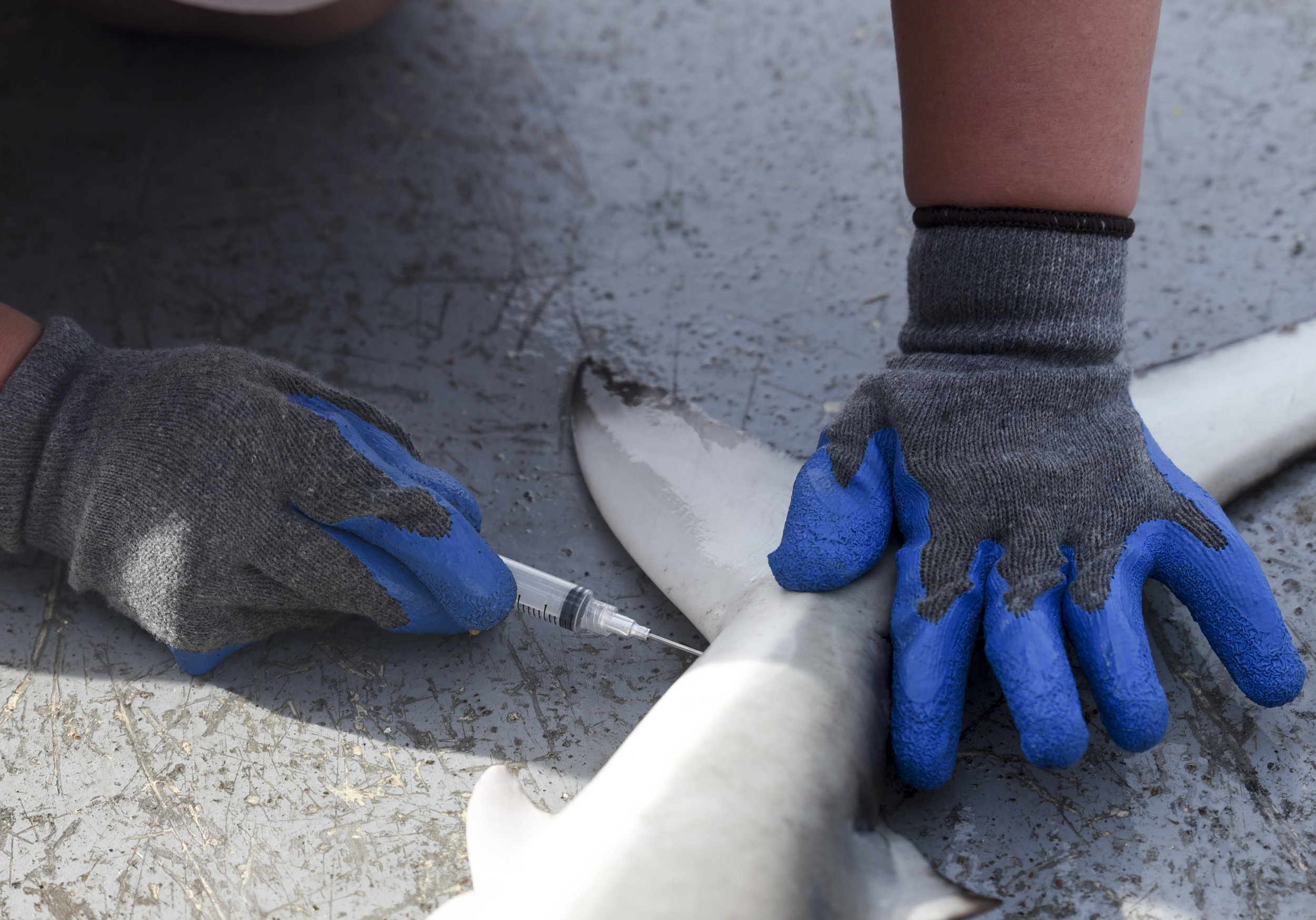 Samantha Ehnert, a 27-year-old student at the University of North Florida, uses a syringe to draw blood from a Blacktip shark.Ehnert said the blood would allow her to study the level of testosterone in the shark's body.