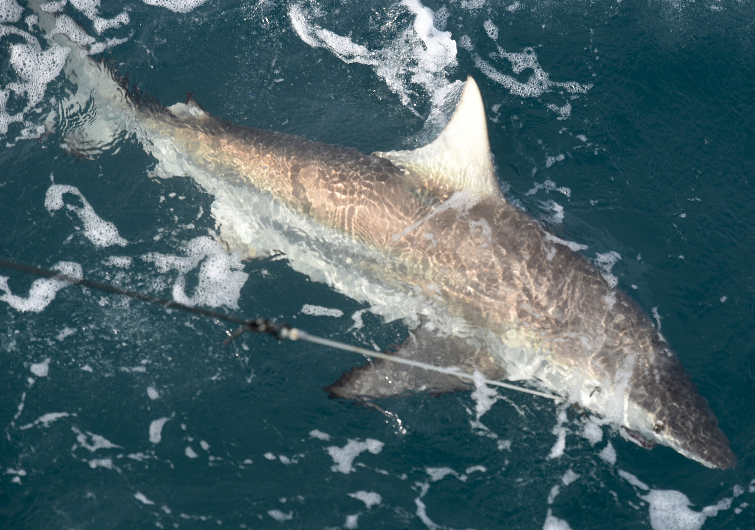Researchers aboard the R/V Bellows work to bring a Blacktip shark. Sharks are often fierce fighters, many times biting through lines before they can be brought aboard.
