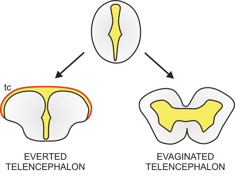 Figure 3. Differences between everted and evaginated telencephali. Simplified drawings of transverse sections through an everted (bottom left) and evaginated (bottom right) telencephalon. Neural tissue is highlighted in grey and the cavity or ventricle in marked in yellow. The presence of an extended epithelial-like tissue that covers the ventricle dorsally (tc, tela choroidea; in red) is also a characteristic trait of an everted telencephalon. Both telencephalic morphologies originate during embryonic development from the neural tube (top). Adapted from Gage (1893).
