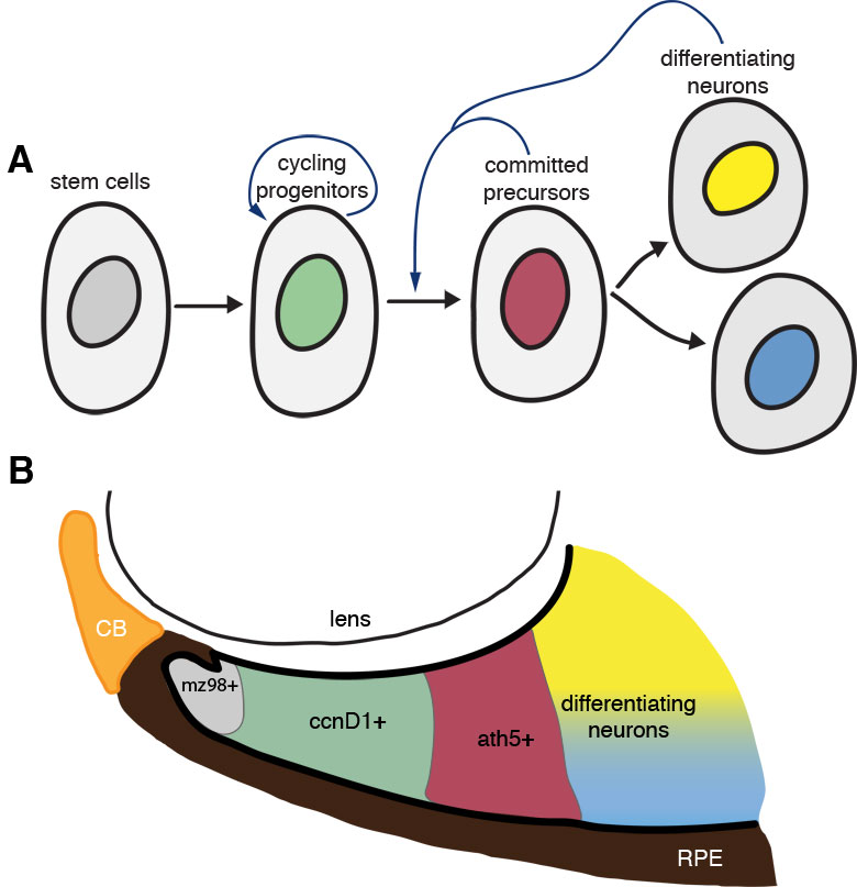 Our model suggests that the local differentiated environment adjacent to the CMZ pushes cycling retinal stem cells towards differentiation. A) Cycling progenitors receive extrinsic feedback from surrounding cells to transition from proliferation to differentiation. Retinal stem cells at the periphery of the eye give rise to proliferating progenitors, the behaviour of which is regulated by intrinsic (cell-cycle) and extrinsic (environmental) cues that determine the probability that these cells will stop cycling and differentiate. Although flo cells have intrinsically compromised cell cycle kinetics, they are able to respond to wild-type extrinsic signals that promote their transition from proliferation to differentiation. B) The spatial organization of the CMZ: putative stem cells (mz98+), cycling progenitors (ccnD1+), committed precursors (ath5+), and differentiating neurons are sequentially arranged such that dividing cells inevitably come into contact with differentiating neurons as they move centrally from the CMZ; we suggest these differentiating cells encourage the dividing cells to enter their final cell cycle and differentiate (A).