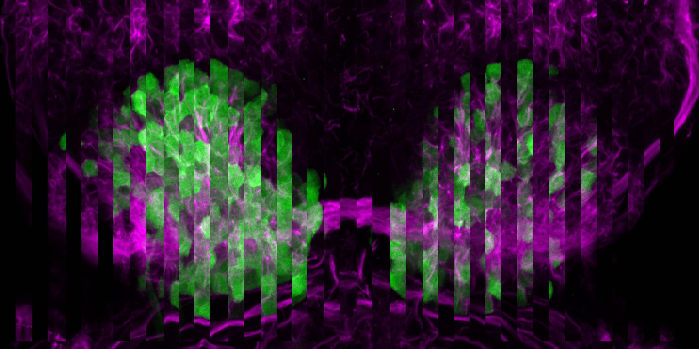 Habenular nucleus of the zebrafish , composition.