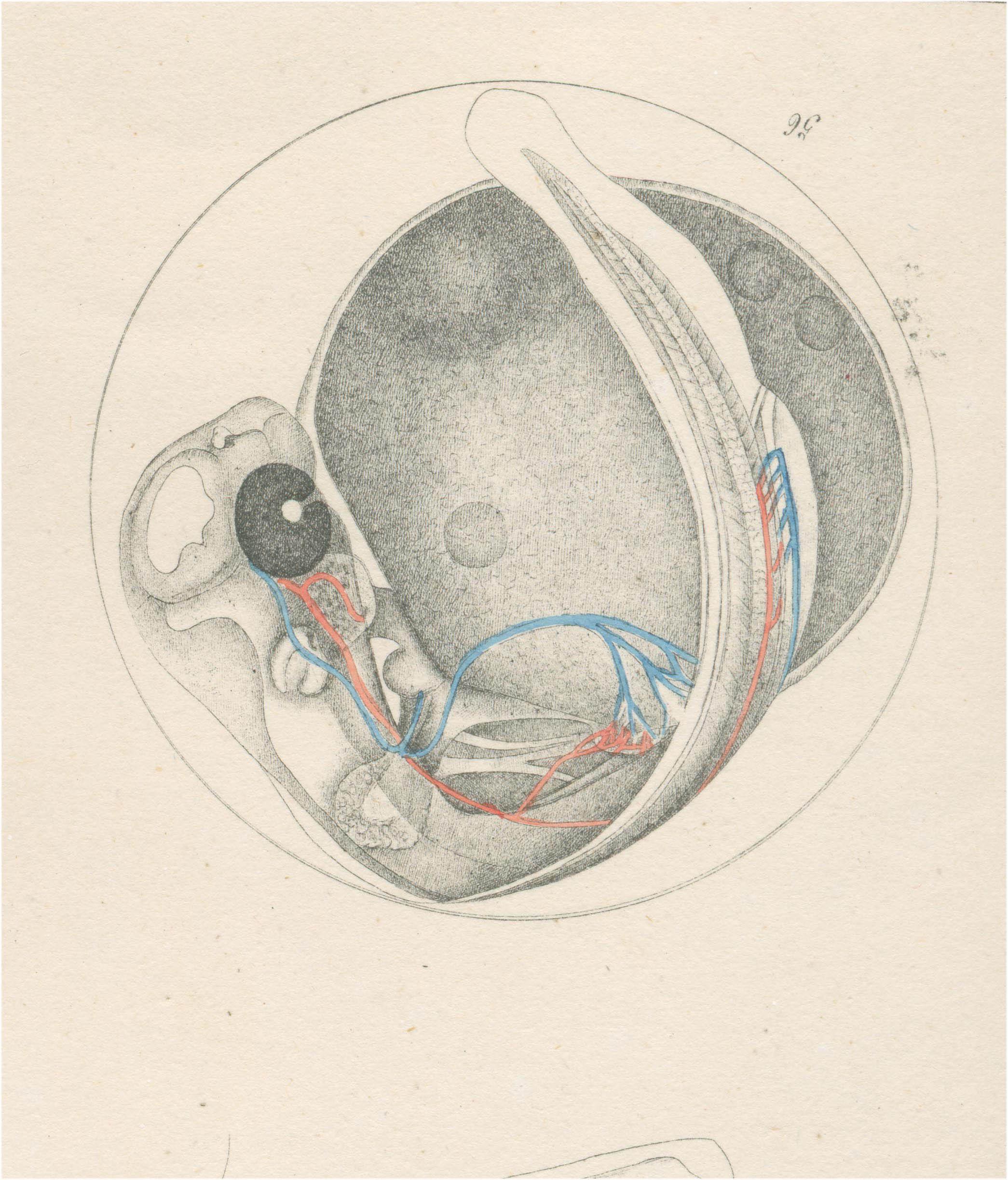 A Salmonid embryo