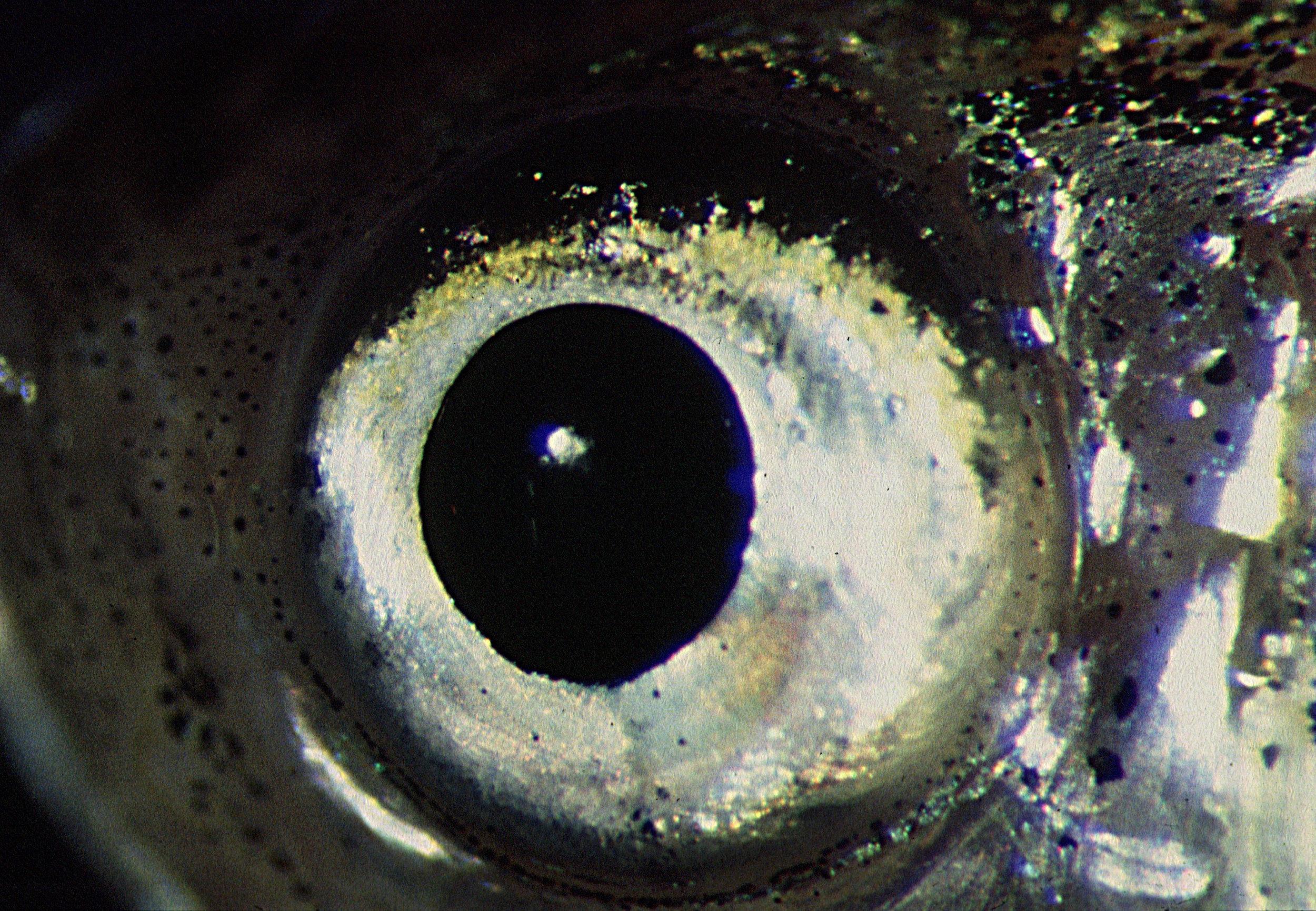 Zebrafish eye