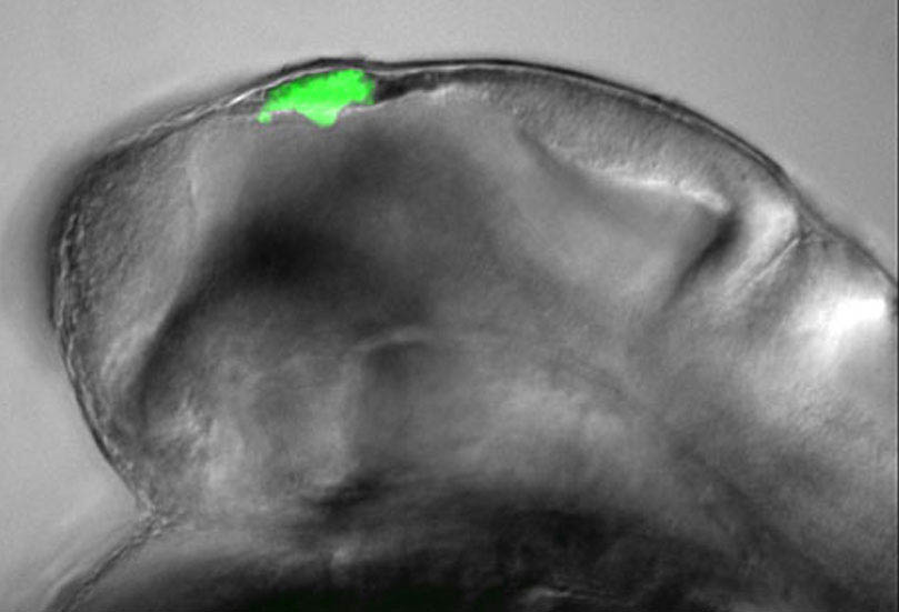 Floating head GFP in the epithalamus
