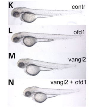 Figure 3. This picture shows how ofd1 genetically interacts with vangl2 in gastrulation cell movements, resulting in shorter larvae: partial loss of ofd1 doesn't affect embryo length, but when there is also disruption to the vangl2 gene, this results in much shorter embryos.