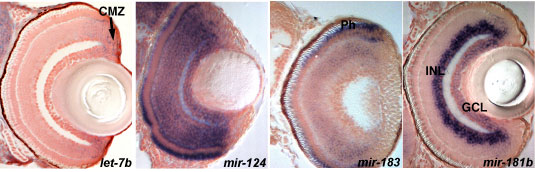 Images of sections through the eyes showing a variety of expression profiles for different miRNAs. miRNA expression is detected by in situ hybridization (blue) and the sections are counterstained with nuclear red stain to visualize the cell nuclei. let-7b is expressed in proliferating cells (arrow, CMZ-ciliary marginal zone), mir-124 in the all differentiated retina cells, mir-183 in photoreceptors (Ph) and mir-181b in a subset of differentiating cells (INL-inner and GCL-ganglion cell layers).