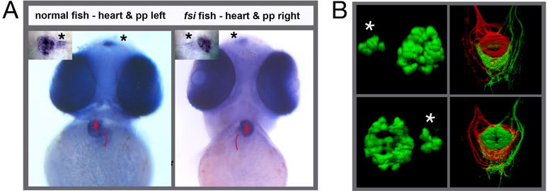 Figure 1. (A) In normal fish the heart loops from left to right and a small photoreceptive structure in the brain called the parapineal is located to the left side of the midline. Both asymmetries are reversed in the fsi fish line. The pictures show frontal views of young zebrafish embryos. A red arrow indicates the direction of heart looping and the asterisks point to the position of the small parapineal next to the larger pineal nucleus. (B) The left panels show 3-D reconstructions of the fluorescently labeled pineal and parapineal (asterisk) nuclei in normal (top) and reversed fsi fish (bottom). The top right panel depicts the projections of habenular neurons from the left side (red) and right side (green) to a target in the midbrain; in normal fish the left side sends projections to the top (dorsal) part of this target, the right side to the bottom (ventral) part. Again, the laterality of this asymmetry is reversed in fsi fry (bottom right panel)