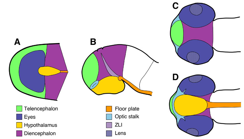 Figure 1: (A) Organisation of brain territories at neural plate stage. The groups of cells giving rise to each territory are shown in different colors. (B-D) The same colour code is used to show the relative positions of the different territories in embryonic brains at a later stage of development, from lateral (B), dorsal (C) and ventral (D) views. Modified from Cavodeassi et al., (2009) Squire LR (ed.) Encyclopedia of Neuroscience, vol. 4, 321-325