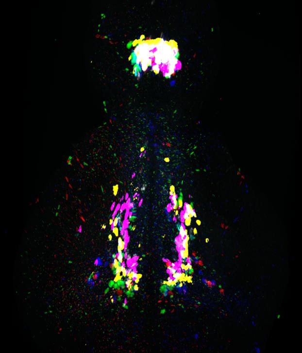 Galanin mRNA