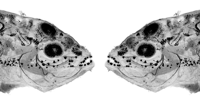 Mirror symmetric image of cavefish embryo