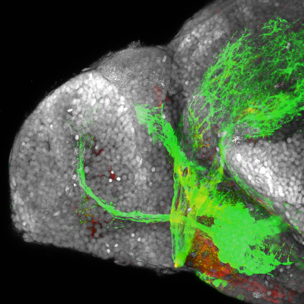 shh:GFP, tubulin and sytox 4dpf lateral forebrain