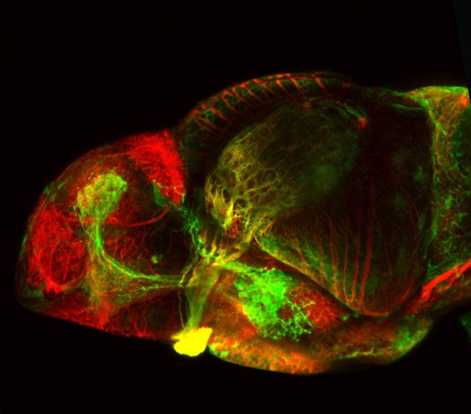 shh:GFP and tubulin, 4dpf lateral view
