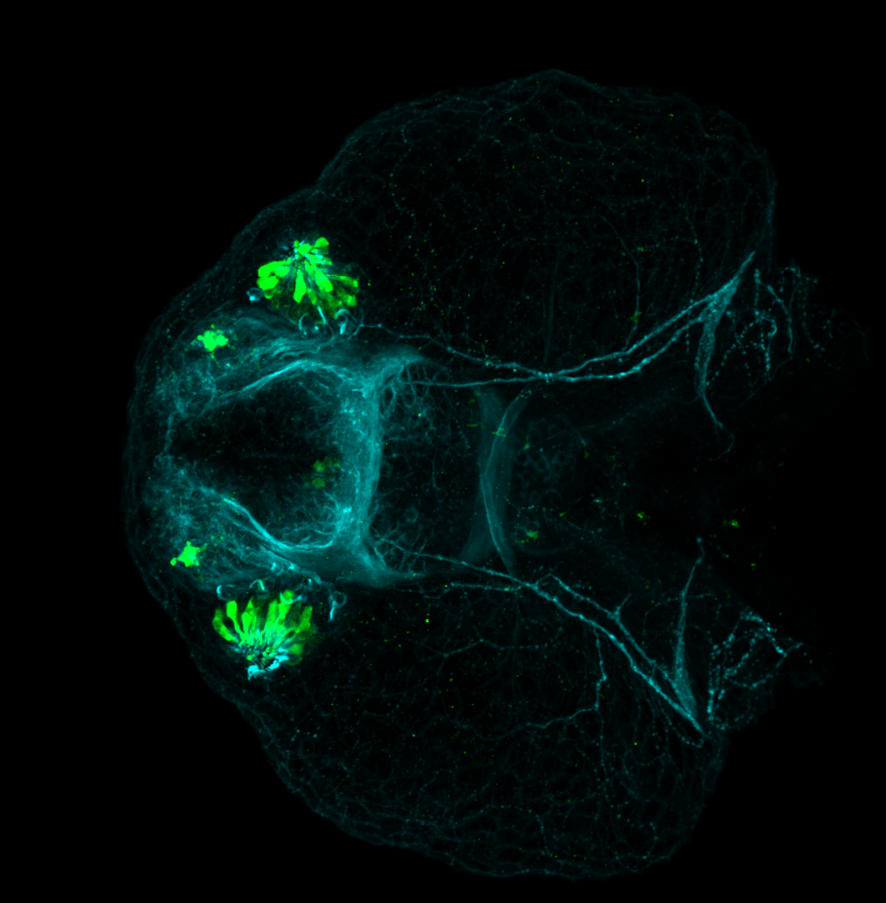 Ventral view of 48hpf anti-Calbindin and anti-tubulin
